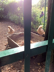 Chickens at Claude Monet's former residence at Giverny